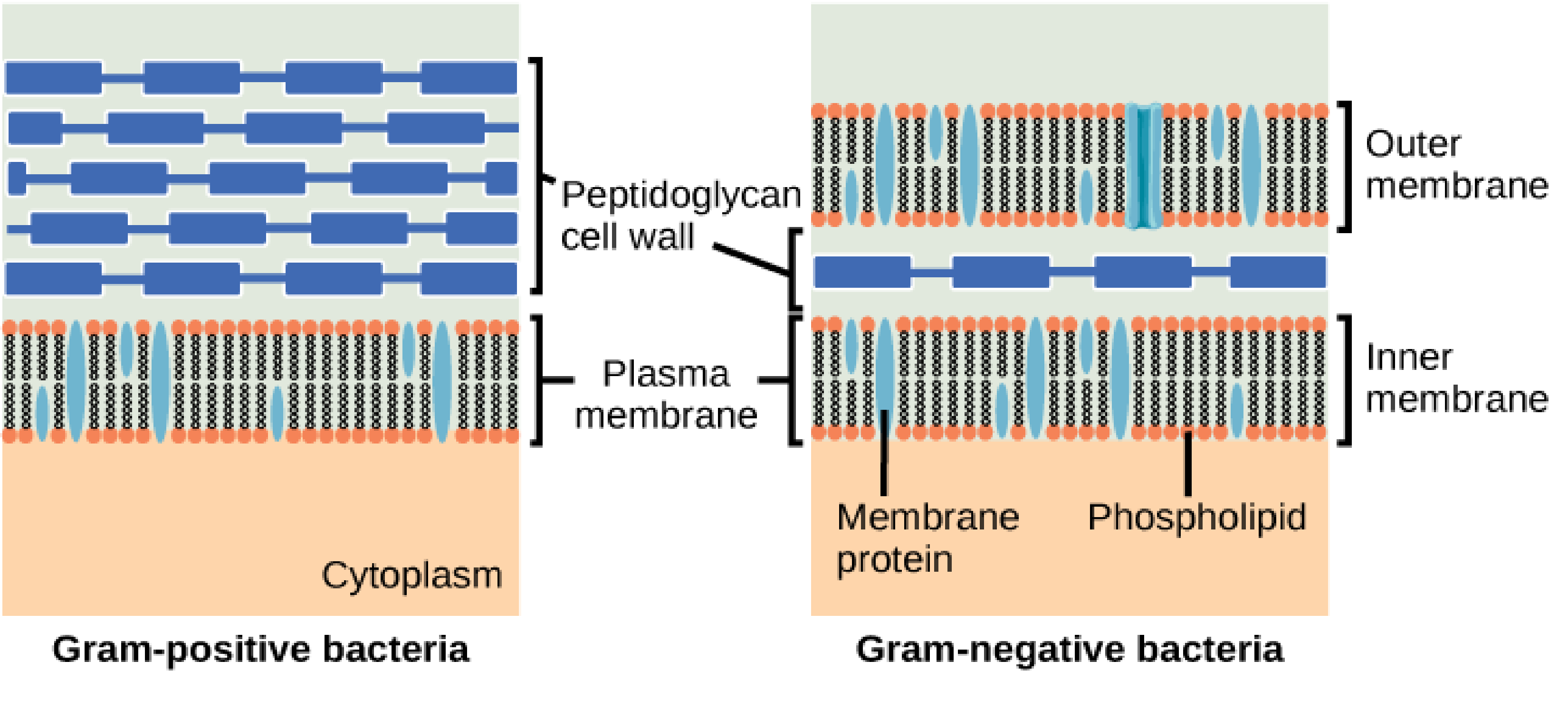 Schematic differences between Gram-positive and Gram-negative bacteria. The former have a single bilayer with an enveloping peptidoglycan cell wall protecting the bacterium, whereas the latter have two cell membranes separated by a periplasm region, within which is the cell wall.