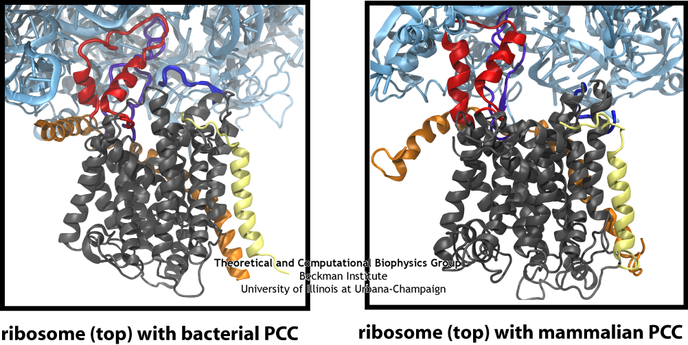 The similarity of the connections between the ribosome and channel in the bacterial and mammalian systems is clearly seen in this side-by-side comparison, particularly the two loops of the channel in red and purple.