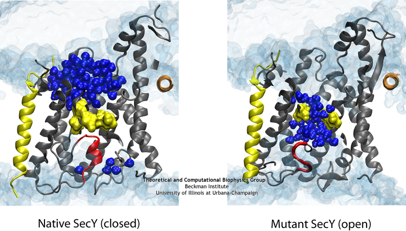 The difference in the permeability is apparent when comparing the native (left) and one of the mutant (right) channels in simulation.