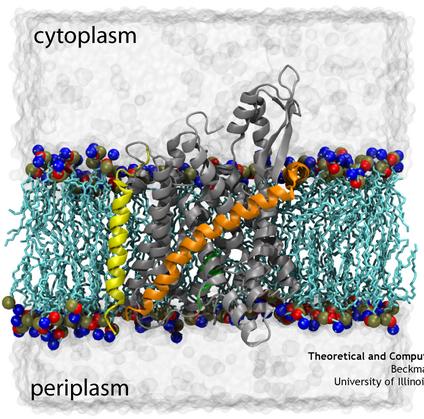 Translocon SecYEbeta embedded in a membrane-water system.