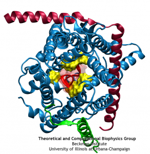 A small polypeptide (protein segment) is crossing the channel and forcing open the pore ring.
