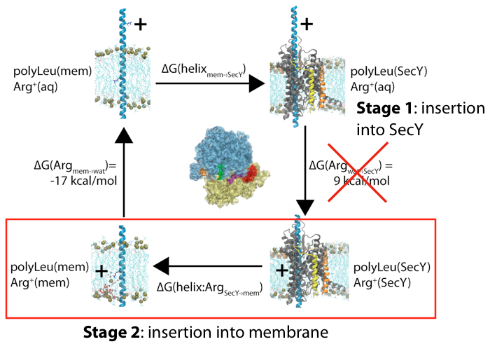 Membrane insertion via the ribosome-channel system can be decomposed into two stages, with only the energetics of the latter one being measured experimentally.
