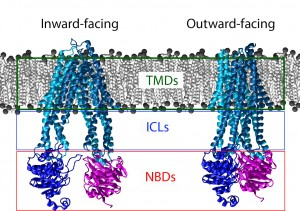 A schematic of an ABC transporter inserted into a lipid bilayer. The Nucleotide Binding domains are clearly dedimerized in the inward-facing state. In the outward facing state the protein has bound ATP and the corresponding movement in the TMDs has occured. The Nucleotide binding domains are boxed in red, the intracellular loops in blue, and the Transmembrane domains in green.